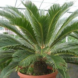 Тенелюбивые комнатные растения фото