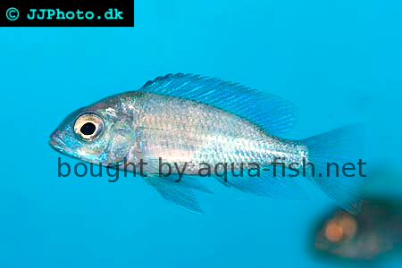 blue-dolphin-cichlid-2.png