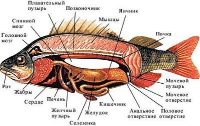Картинка 6. Строение костной рыбы.